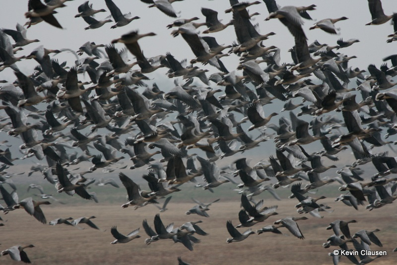 Pink-footed goose flock lift-off