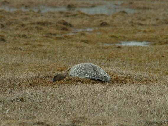 Pink-footed goose sitting on nest, Svalbard, Norway.