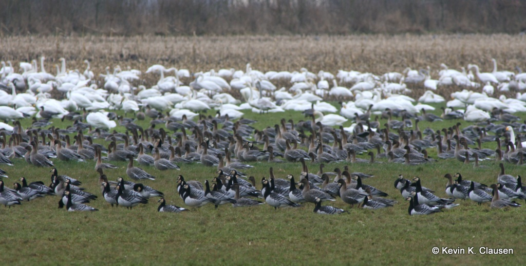 Whooper swans, pink-footed and barnacle geese, Western Jutland. Photo: Kevin Clausen