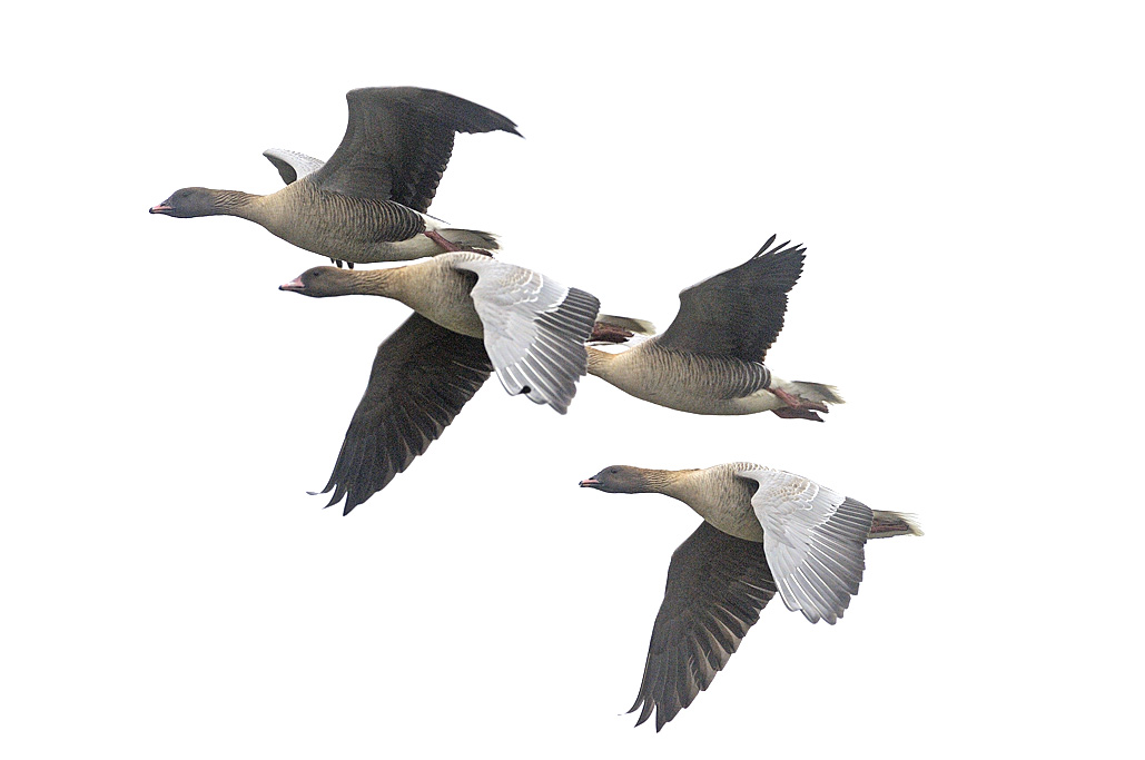 Pink-footed geese in flight