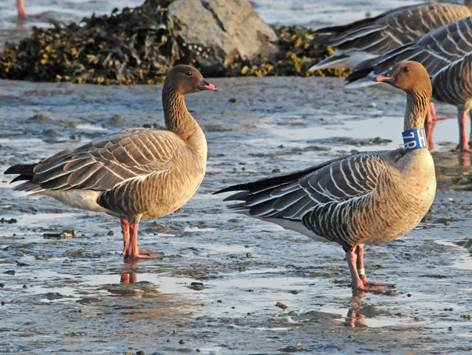 Pink-footed goose with neck band