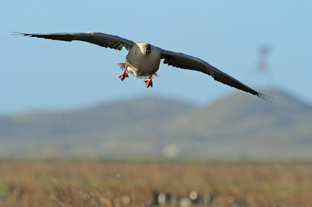 Pink-footed goose flying in