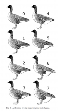 Abdominal profile index for pink-footed geese (Madsen & Klaassen 2006)