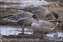 Pink-footed geese grubbing for rhizomes on arctic tundra Svalbard, Norway. Photo by: Morten Bjerrang