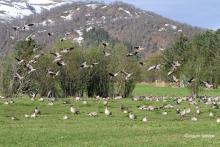 Pink-footed geese on grassland, central Norway