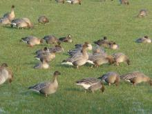 Foraging pink-footed geese in grassland