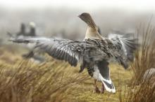 Pink-footed goose take-off
