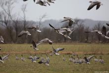 Pink-footed geese in Northern Jutland, Denmark. Photo: Vianney Goma