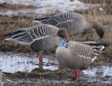 Neckbanded pink-footed goose © Morten Bjerrang